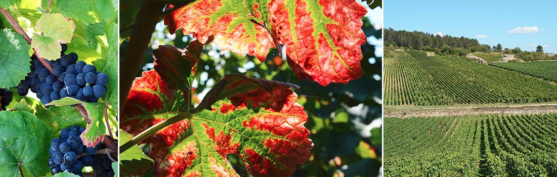Vendanges maturité raisin